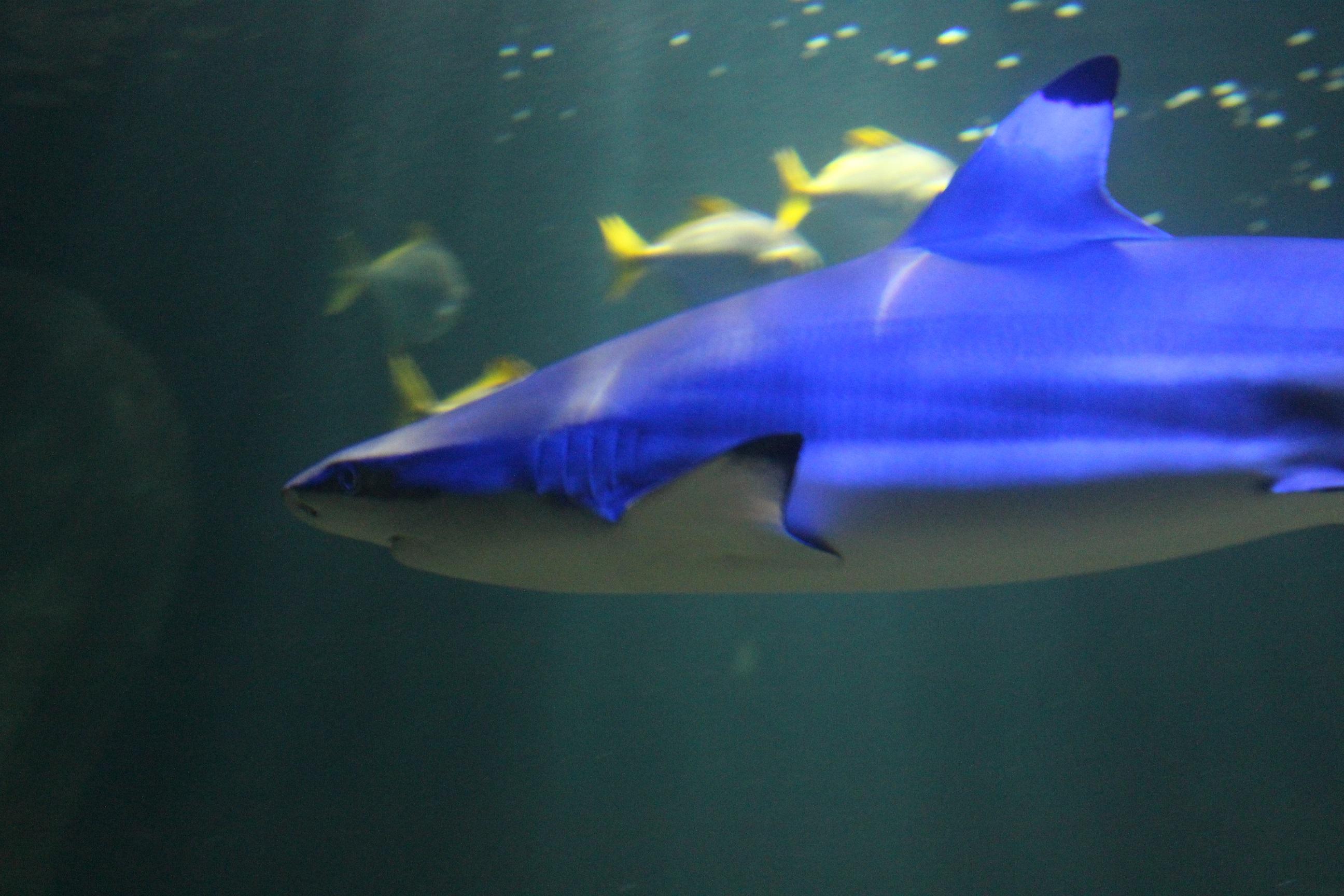 Shark4small