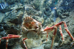 Spider Crab Photo -  Dallas Krentzel (CC Licence) httpcreativecommons.orglicensesby4.0