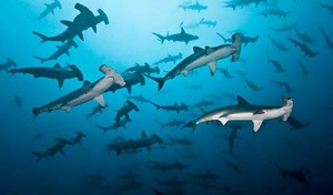 School-of-Hammerhead-sharks-